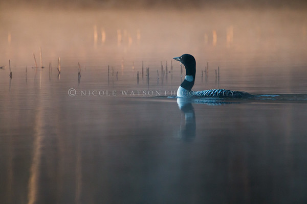 Common Loon in the morning mist