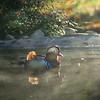 Mandarin Drake Swimming in Autumn