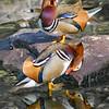 Two Mandarin Drakes preening before courtship