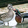 "Wood Duck ""Kiss"""