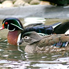 Wood Duck Courting Pair: Together at Last