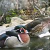 Wood Duck Pair: Hen takes time out for grooming, as well!