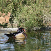 Wood Duck Drake swimming in small pond