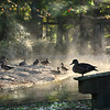 Good Morning Wood Duck