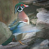 Wood Duck Displaying