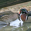 Courting Wood Duck Pair: One last nibble for the road
