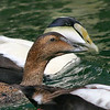 Common Eider Pair Swimming together