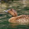 Common Eider Hen: Chin Lift