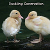 Duckling Conversation