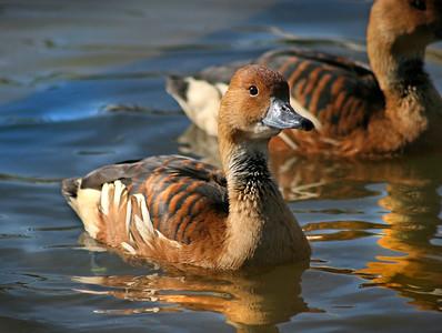 Fulvous Whistling Ducks (Dendrocygna bicolor )