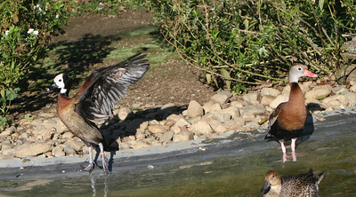 MIXED WHISTLING DUCK PAIRS (Dendrocygninae)