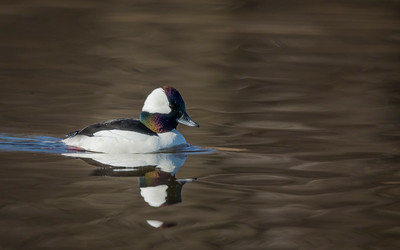 Bufflehead in Chocolate Light