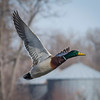 Farm Country Mallard