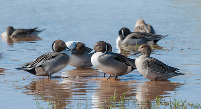Northern Pintail, male & female
