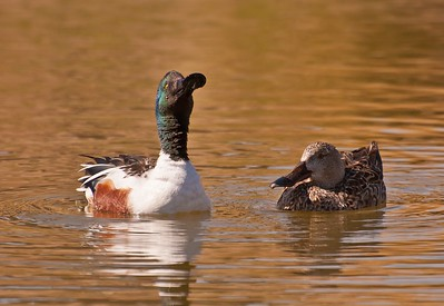 Northern Shovelers, Male & Female