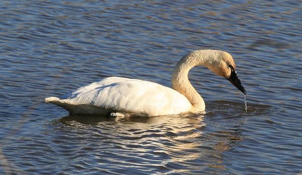 Tundra Swan, Ridgefield  NWR