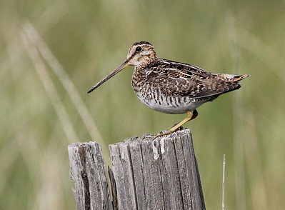 Wilson's Snipe, Lateral  C near Toppenish, WA