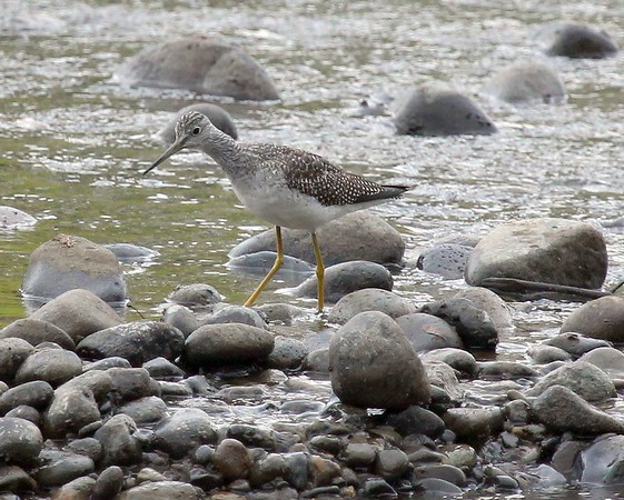 Greater Yellowlegs, Yakima Greenway, Fall 2014