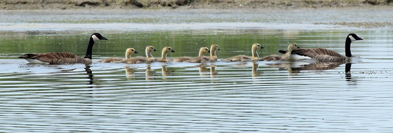 The same Goose family later in spring, near Outlook, WA