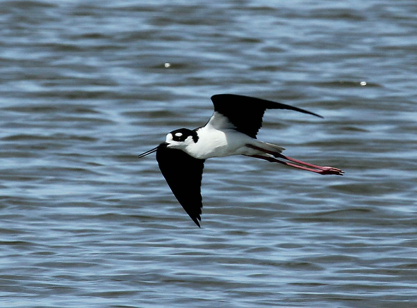 Black-necked Stilt near Outlook, WA