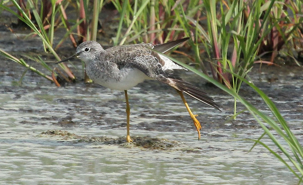 Greater Yellowlegs having a stretch near Outlook, WA