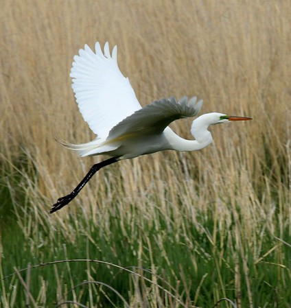 Great Egret, Lateral C ,2014