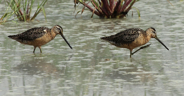 A pair of Long-billed Dowitchers near Outlook, WA