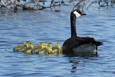 Mother goose with goslings near Outlook, WA