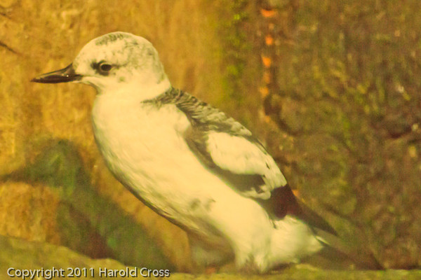 A Pigeon Guillemot taken Sep. 28, 2011 in Monterey, CA.