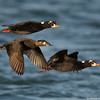 Three surf scoters