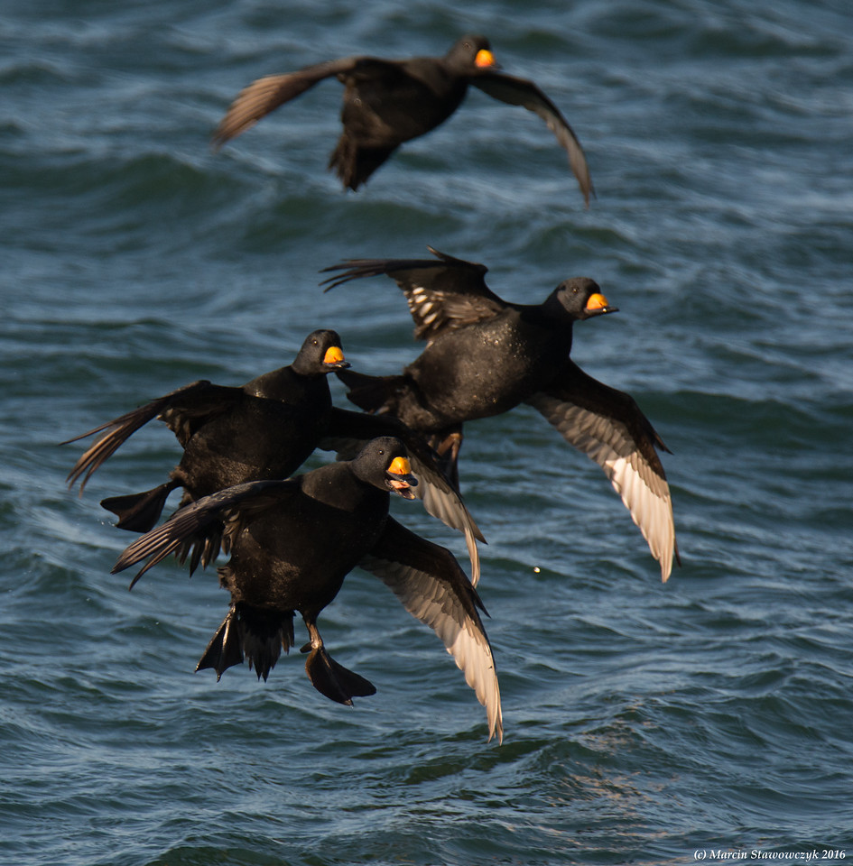 Landing scoters
