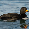 Glimpse of a scoter