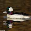 Bufflehead in brown water