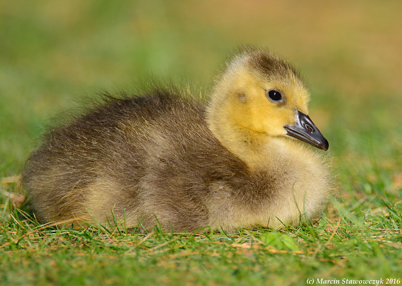 Sitting gosling