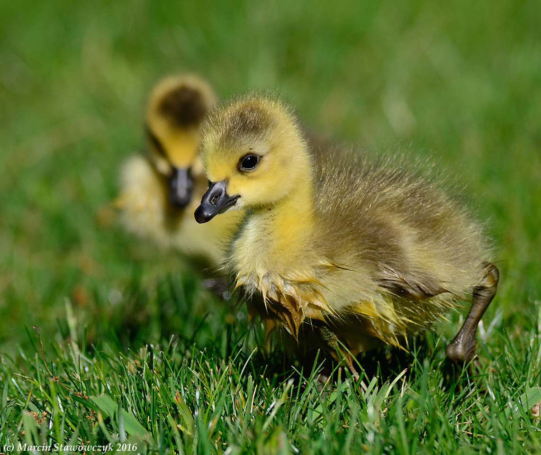 Two goslings