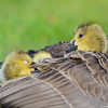 Under mommy's wings