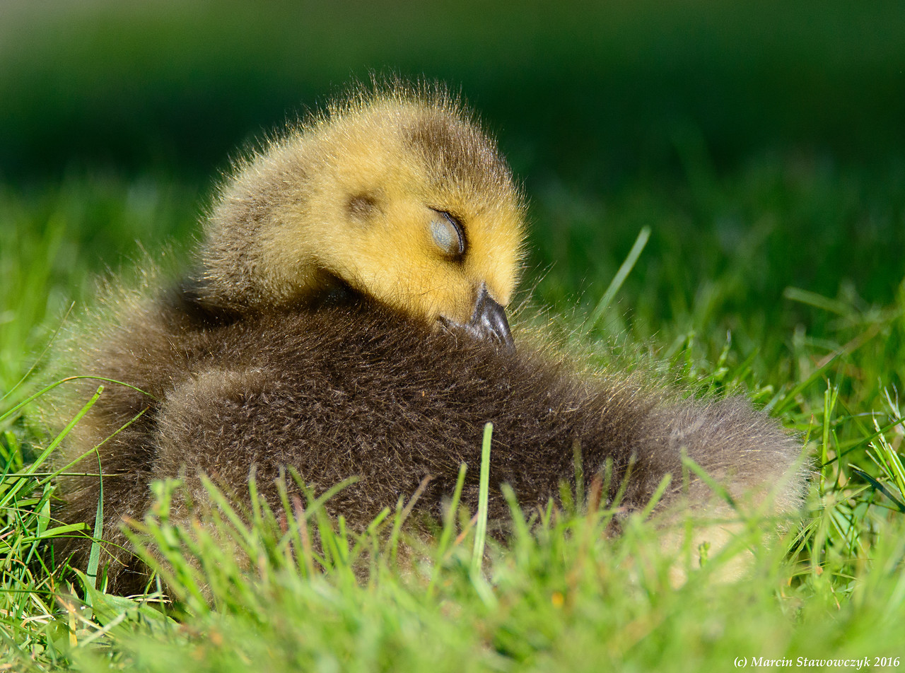 Preening gosling