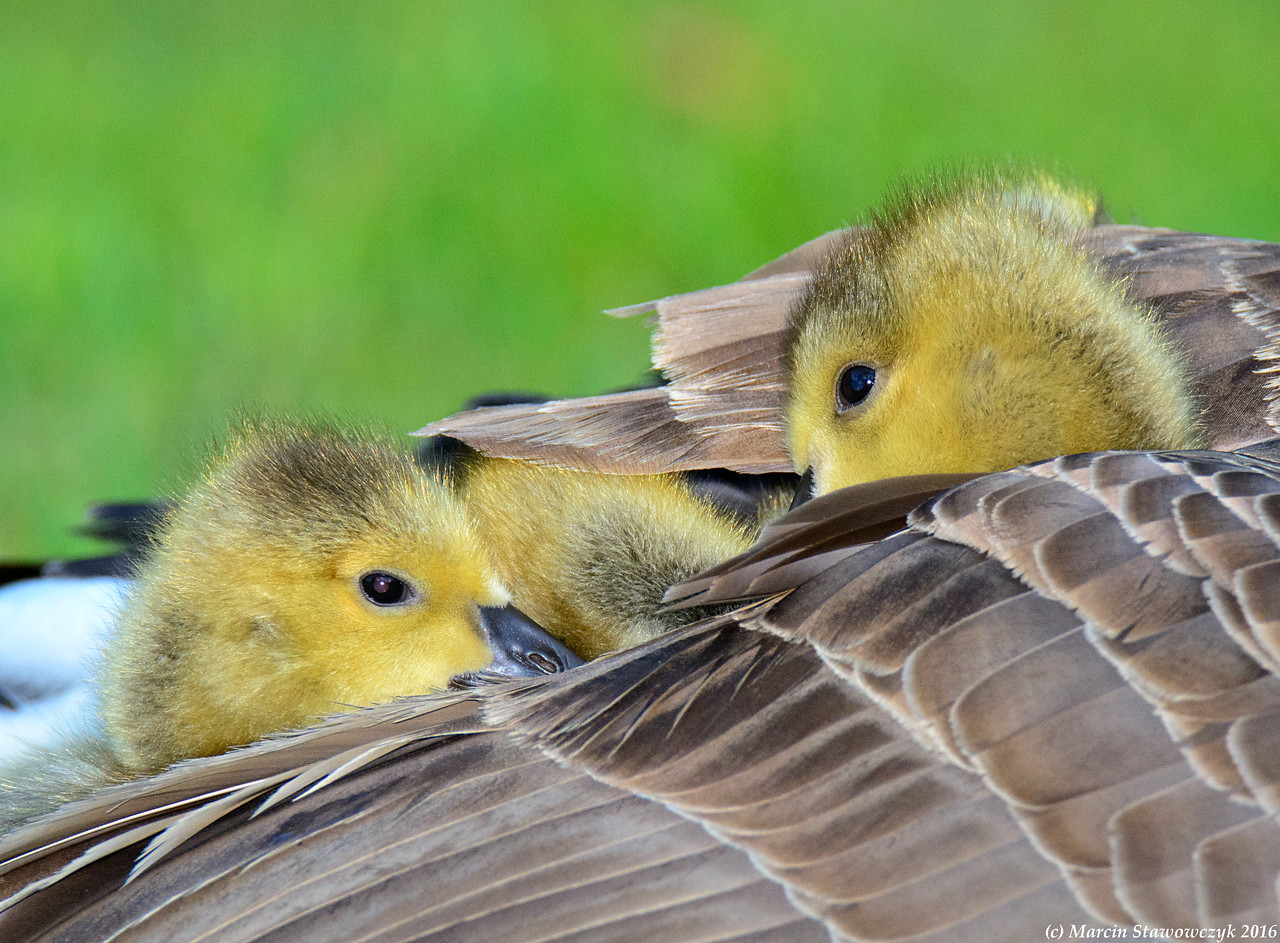 Ducklings under wing