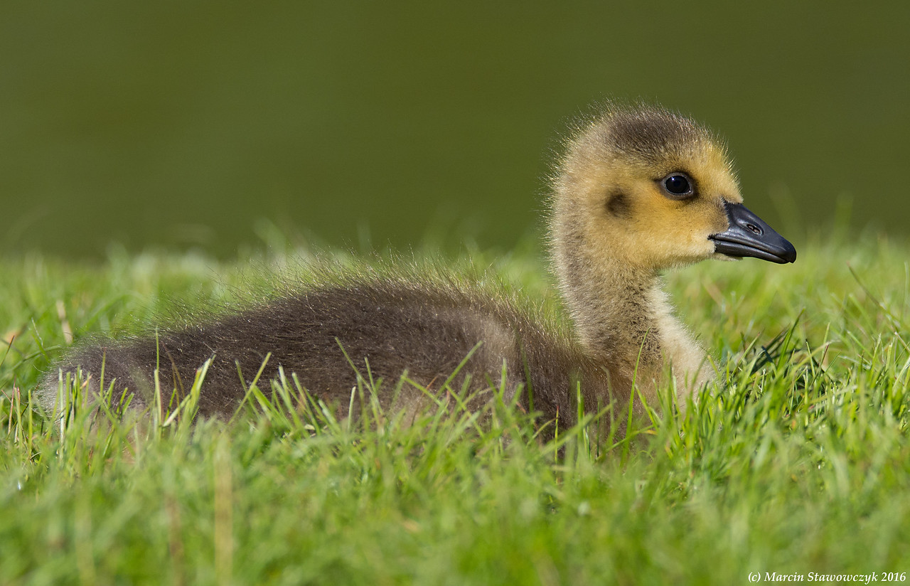 Gosling on the grass