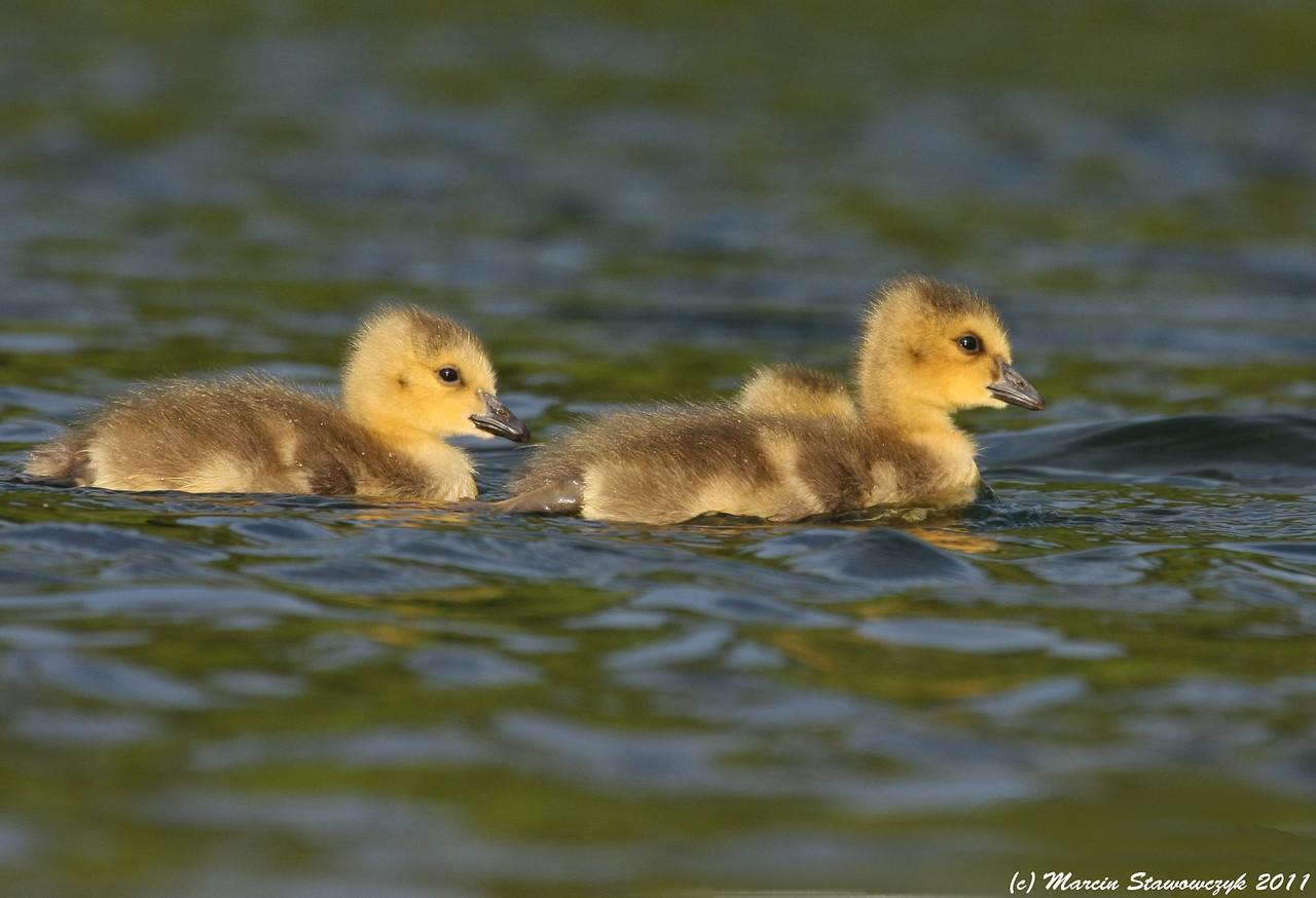 Goslings in the water