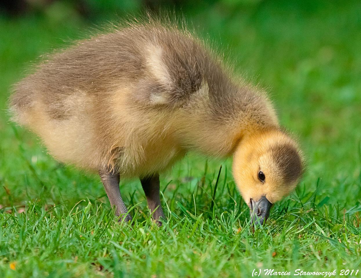 Feeding gosling