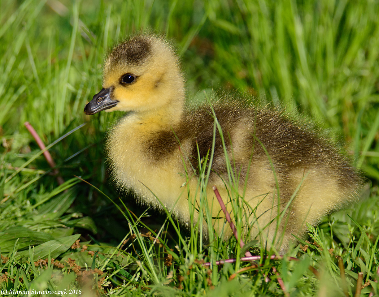 Gosling on the lawn
