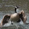 Splashing goose