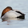 Canvasback from the bacl