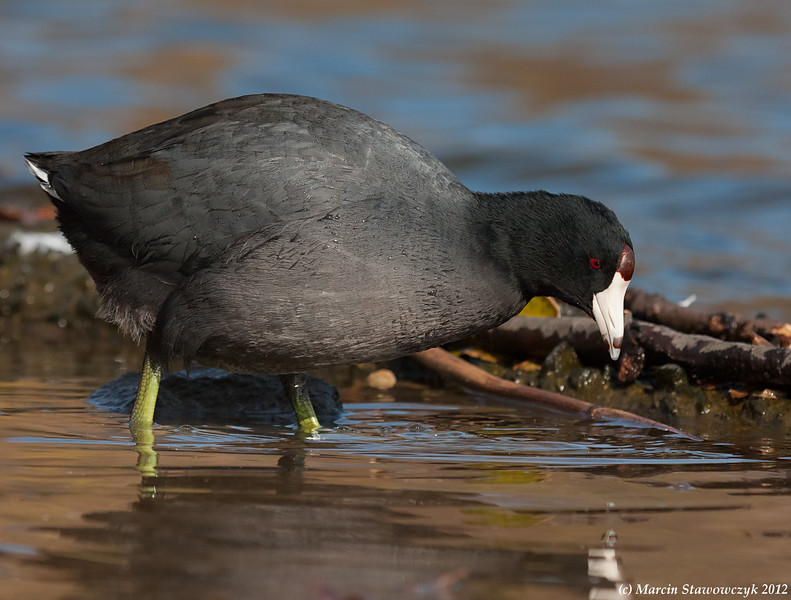 Wading coot