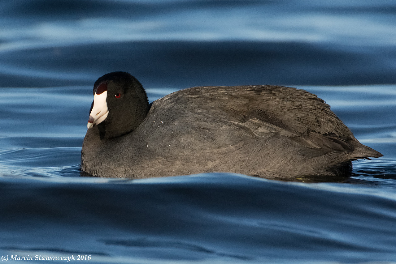 Fluffy coot