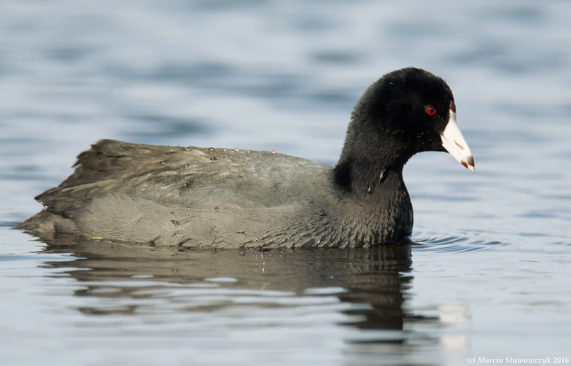 Coot on the way