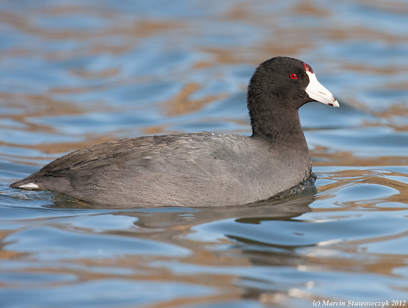 Profile of the coot