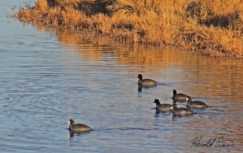 American Coots taken Nov 16, 2009 in Grand Junction, CO.