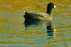 An American Coot taken Nov. 3, 2011 near Fruita, CO.